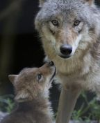 Wolves and Beyond: All roles matter in nature