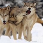 More on wolves and their relation to various sexualities and genders